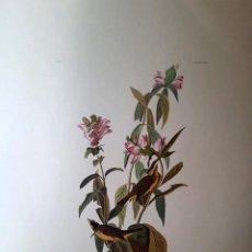 Arte: AUDUBON, JOHN JAMES. - GREEN BLACK- CAPT FLYCATCHER. MUSCICAPA PUSILLA. Lote 269655278