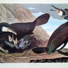 Arte: AUDUBON, JOHN JAMES. - COMMON CORMORANT. PHALACROCORAX CARBO.. Lote 269655283