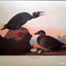 Arte: AUDUBON, JOHN JAMES. - BLACK AND SURF DUCK. FULIGULA PERSPICILLATA. Lote 269655288