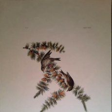 Arte: AUDUBON, JOHN JAMES. - PINE FINCH. FRINGILLA PINUS.. Lote 269655303