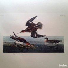 Arte: AUDUBON, JOHN JAMES. - HYPERBOREAN PHALAROPE. PHALAROPUS HIPERBOREUS.. Lote 269655328