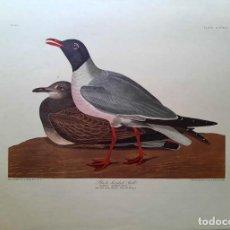 Arte: AUDUBON, JOHN JAMES. - BLACK-HEADED GULL. LARUS ATRICILLA.. Lote 269655353