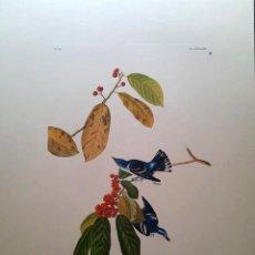 Arte: AUDUBON, JOHN JAMES. - AZURE WARBLER. SYLVIA AZUREA.. Lote 269655358