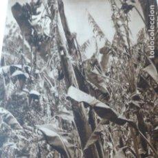 Arte: MALAGA PLANTACION DE PLATANOS ANTIGUO HUECOGRABADO 1928. Lote 275576268