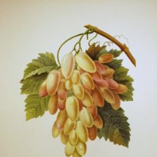 Arte: FRUTAS. UVA BLANCA. CORNICHONS BLANCS.. Lote 18341783
