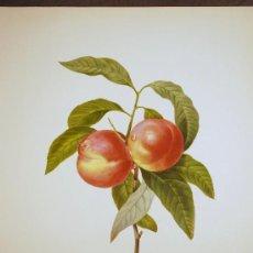 Arte: FRUTA. MELOCOTÓN. PÊCHER À FRUITS LISSES.. Lote 18342851