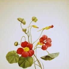 Arte: FLORA. CAPUCHINA. TACO DE REINA. TROPAEOLUM MAJUS. BOTÁNICA. Lote 18343506