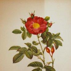 Arte: FLORA. ROSA DAMASCENA COCCINEA. ROSIER DE PORTLAND. BOTÁNICA. Lote 18751802