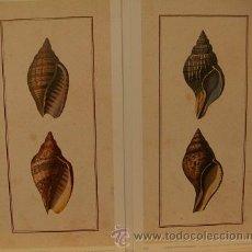 Arte: 2 LÁMINAS DE CARACOLAS. Lote 31647344