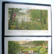 Arte: 1900 ESPASA - PAREJA DE BELLAS LAMINAS HIDROFITAS - PLANTAS DE ESTANQUE. Lote 52416448