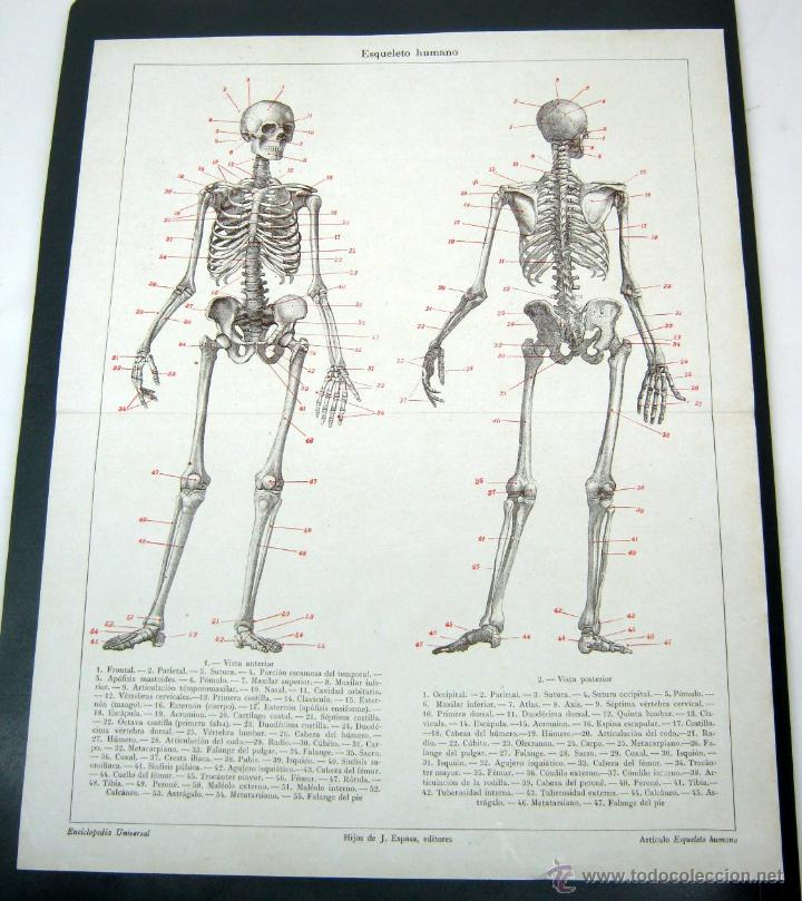 1900 espasa - bella lamina esqueleto humano - h - Comprar Láminas ...