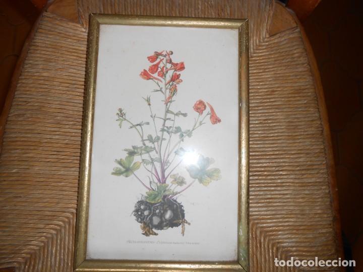 Arte: FEUER RITERSPORN--Delphinium nudicaute - Foto 2 - 140770982