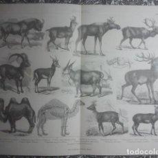 Arte: ZOOLOGÍA - UNGULADOS - PRECIOSA Y EXCLUSIVA LÁMINA ANTIGUA - 34,5 X 27 CMS - IDEAL ENMARCACIÓN. Lote 158865874