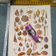 Arte: REF: WRT - ANTIGUA LAMINA NATURALEZA - TITULO : MOLUSCOS - CARACOLAS CONCHAS MARINAS ETC. Lote 261598170