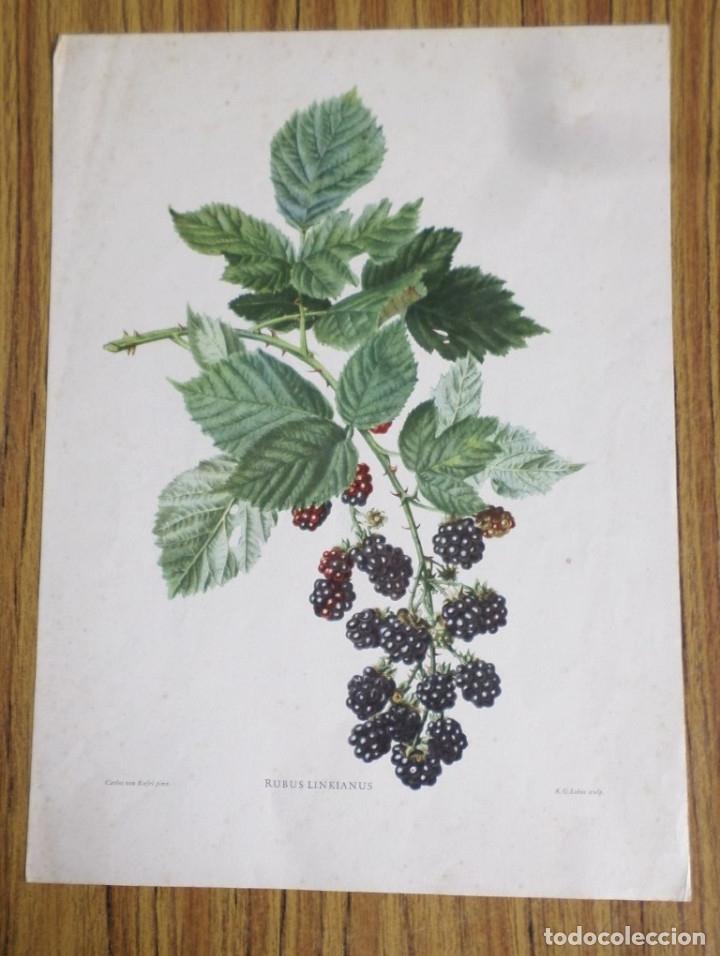 Arte: 3 laminas impresas antiguas plantas - Foto 4 - 176222760