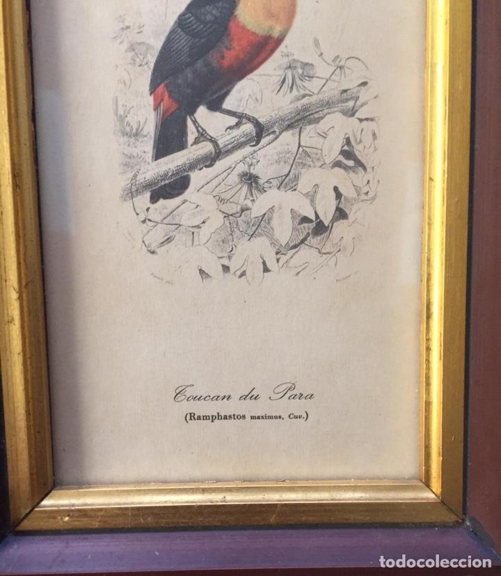 Arte: Impresión tucán siglo XIX Francés - Foto 2 - 194536142