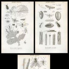Arte: 3 GRABADOS ORIGINALES SIGLO XIX . HISTORIA NATURAL. INSECTOS DAÑOSOS A LA AGRICULTURA. Lote 204753822