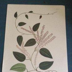 Arte: LAMINA FLORAL FACSÍMIL CELESTINO MUTIS, DIOSCOREA CORIACEAE H.&B. EX WILLD LAM XV. Lote 243330225
