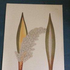 Arte: LAMINA FLORAL FACSÍMIL CELESTINO MUTIS: ATTALEA NUCIFERA KARSTEN LAMVIII. Lote 243390070