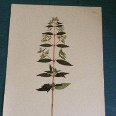 Arte: LAMINA FLORAL FASCIMIL,CELESTINO MUTIS: TIBOUCHINA LONGIFOLIA (VAHL) BAIL LAM 38. Lote 243391130
