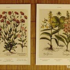 Arte: LÁMINAS DE BOTÁNICA CORONARIA Y DEDALERA. CUADROS LÁMINAS PLANTAS DECORACIÓN. Lote 243785665