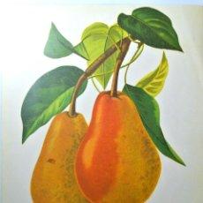 Arte: LAMINA VINTAGE SERIE FRUTAS : HERZONIN ELSA, PERAS, 24 X 20 CMS. Lote 262072610