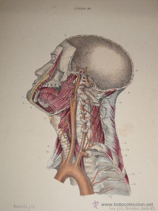 anatomía: bella litografía coloreada, mitad sig - Comprar ...