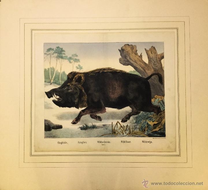 JOSEPH SCHOLZ, 1865. LITOGRAFÍA ILUMINADA A MANO. JABALÍ (Arte - Litografías)