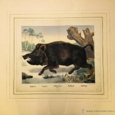 Arte: JOSEPH SCHOLZ, 1865. LITOGRAFÍA ILUMINADA A MANO. JABALÍ. Lote 52832992