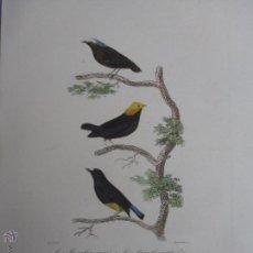 Arte: EDOUARD TRAVIES - LE MANAKIN VARIE, TETED´OR ET BLANCHE - GRABADO ACUARELADO A MANO - SIGLO XIX. Lote 53991572