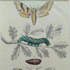 Arte: LITOGRAFÍA, ESTUDIO DE LAS MARIPOSAS. 1844. CON PASPARTÚ. Lote 99481051