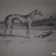 Arte: ALBUM FACTICIO , LITOGRAFÍAS CANINAS POR FRANCIS C. Y V. ADAM. 1833.. Lote 102637571