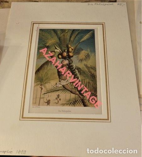 Arte: ESPECTACULAR LITOGRAFIA DE 1883, DIE KOKOSPALME, LA PALMERA, 150X220MM - Foto 2 - 124005311