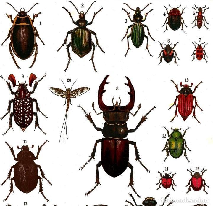 litografia a color siglo xix- insectos -inverte - Comprar ...