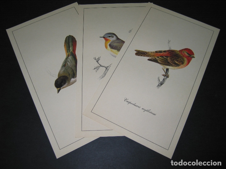 Arte: 3 Laminas con Carpeta - AVES ESPAÑOLAS - Dib. RAYMOND CHING - 70s. - Ed. Readers Digest - Foto 3 - 176679234