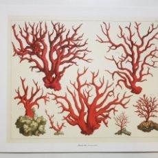 Arte: ALBERTUS SEBA: CORALES ROJOS. NATURALEZA MARINA. LITOGRAFIA ORIGINAL CON MATRICULA LEGAL DEL EDITOR. Lote 194726467