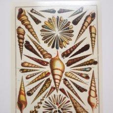 Arte: ALBERTUS SEBA: CARACOLAS. NATURALEZA MARINA. LITOGRAFIA ORIGINAL CON MATRICULA LEGAL DEL EDITOR. Lote 194726845
