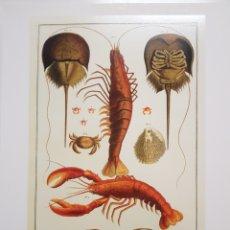 Arte: ALBERTUS SEBA : CRUSTACEOS. NATURALEZA MARINA. LITOGRAFIA ORIGINAL CON MATRICULA LEGAL DEL EDITOR. Lote 194727337