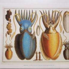 Arte: ALBERTUS SEBA: SEPIAS Y CALAMARES. NATURALEZA MARINA. LITOGRAFIA ORIGINAL CON MATRICULA LEGAL.. Lote 194728451