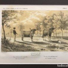 Arte: JEREZ DE LA FRONTERA ESPOSICION DE 1856. PRIMEROS PREMIOS. VACA DE LECHE PROPIEDAD DE JOSE AMADOR. Lote 221927203