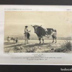 Arte: JEREZ DE LA FRONTERA ESPOSICION DE 1856. PRIMER PREMIO. TORO SEMENTAL DE LA CASTA YNGLESA DURHAN. Lote 221927798