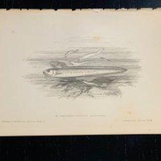 Arte: LITOGRAFIA ORIGINAL DE 1876 DEL IMPRESIONANTE LIBRO LES POISSONS - LOS PECES - GERVAIS ET BOULART -. Lote 236028235