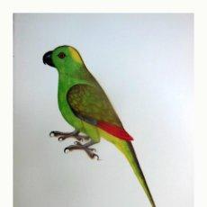 Arte: LÁMINA FACSÍMIL : AMAZONA OCHROCEPHALA, AMAZONA GROGA, AMAZONAS DE CORONA AMARILLA, YELLOW-CROUNED... Lote 246283815