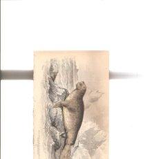 Arte: 1079. LIZARS. ELEFANTE MARINO. Lote 193248970
