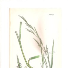 Arte: 1094. SOWERBY. GLYCERIA EU-FLUITANS. Lote 193252597