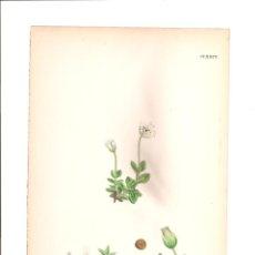 Arte: 1095. SOWERBY. CERASTIUM LATIFOLIUM. Lote 193252806