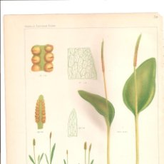 Arte: 1096. CASSELL,S. OPHIOGLOSSUM VULGATUM /LUSITANICUM. Lote 193253801