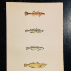 Arte: LITOGRAFIA DE 1876 LES POISSONS - LOS PECES - GERVAIS ET BOULART - DIFERENTES GOBIOS - GOBIUS RUTHEN. Lote 235549975