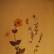 Arte: BOTÁNICA.PLANTAS.FLORES.. Lote 23174954