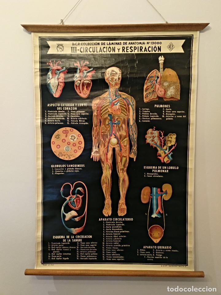 d.c.p. coleccion laminas de anatomia nº13000 ii - Comprar Carteles ...